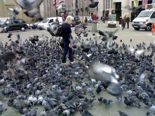 When pigeons attack