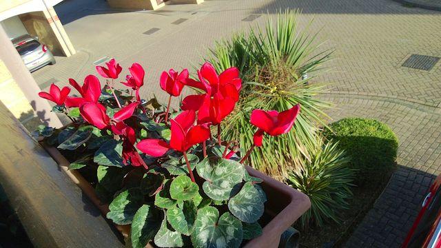 scarlet-cyclamen